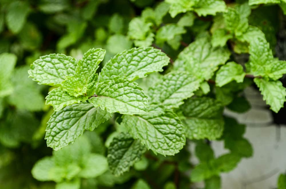 Plantas Aromáticas: La Menta