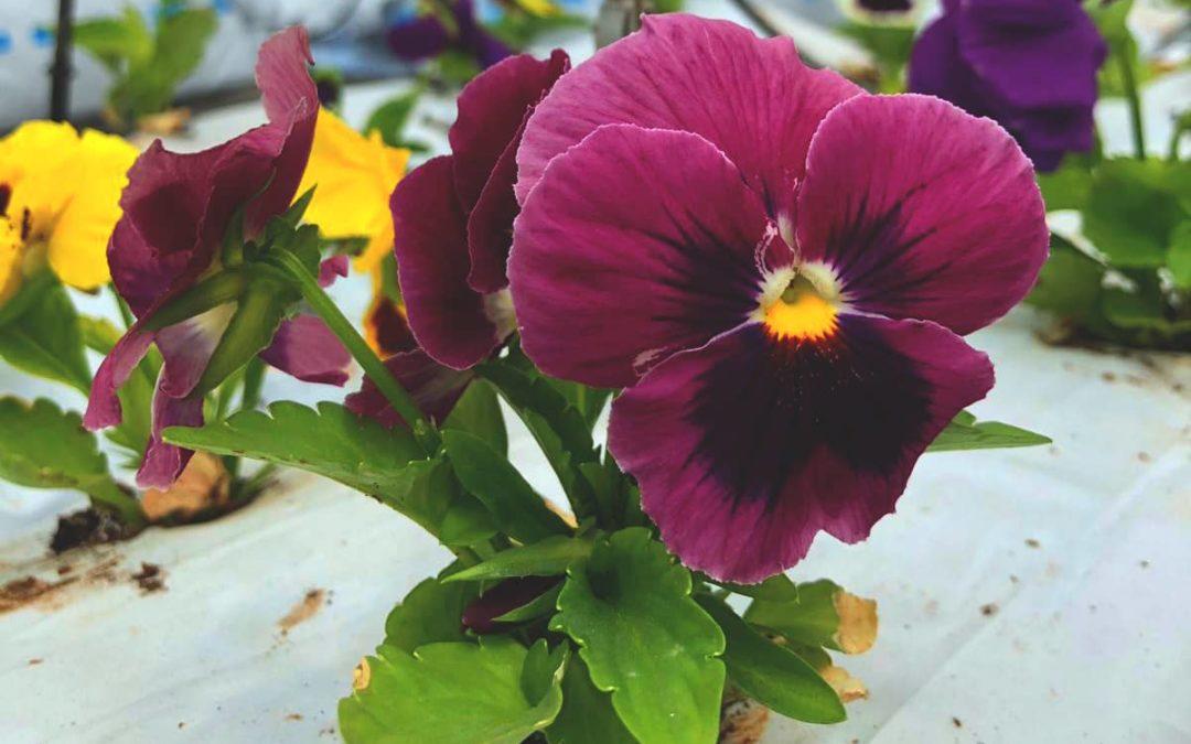 Descubriendo una flor comestible: Flor de Pensamiento
