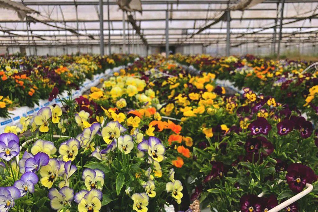 Flor de Pensamiento Comestible en Terracor